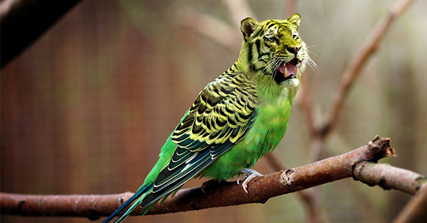 This is a digital artwork of a yellow and green budgerigar sitting on a branch with a tiger head that is the same color as its yellow feathers.