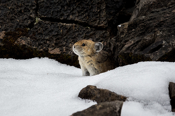 A pika cautiously looking out from a gap between two large stones. They have round ears and red-brown fur that is paler on their chin and belly. Around them is melting snow and damp rocks.