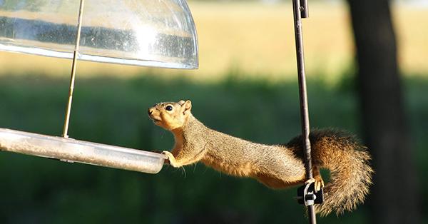 Balancing Squirrel 600x314