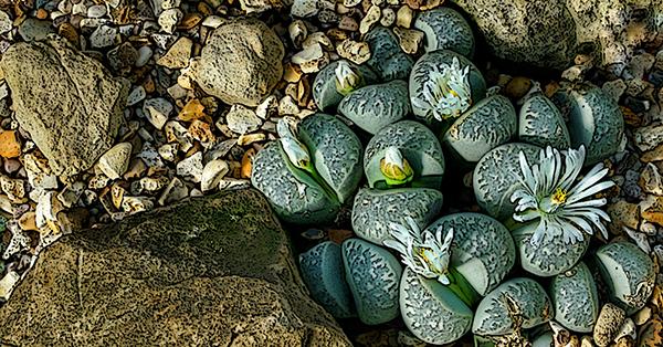 Flashing Stone Cactus 600x314