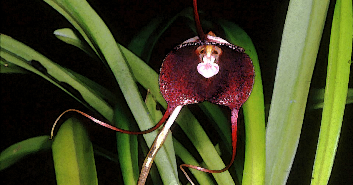 Jumping Monkey Orchid 1200x628