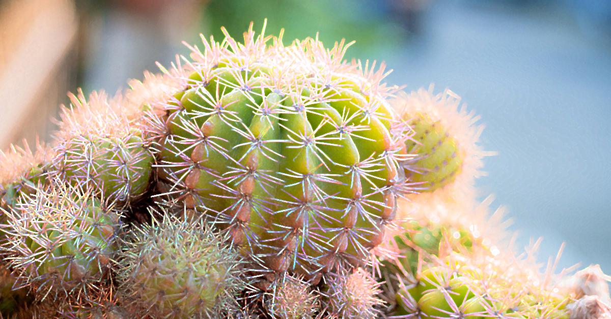 Oasis Palace Cactus 1200x628